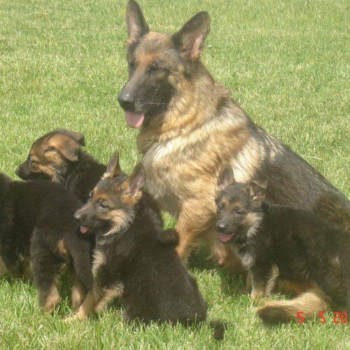 venta,cachorros,pastor alemán,campeones,perros,pedigree,españa,