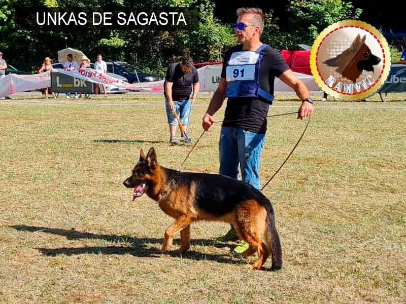 cachorros pastor aleman campeones ramvic