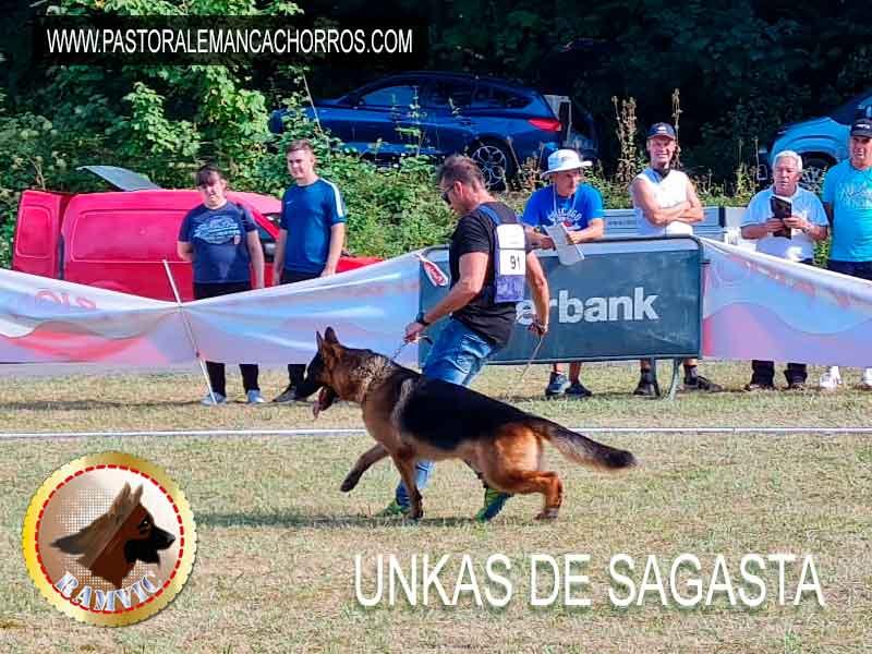 cachorros pastor aleman campeones ramvic Unkas de Sagasta